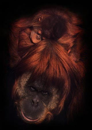 photograph of orang-utan and her baby