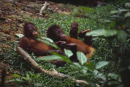 photograph of orang-utans